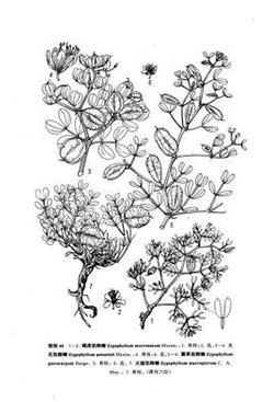 宽叶石生驼蹄瓣(变种)