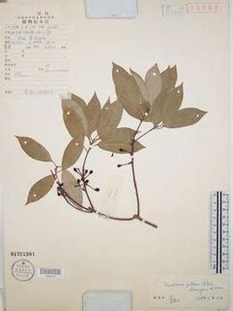 新木姜子 门 被子植物门(angiospermae)