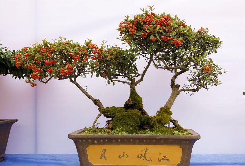 提根木瓜海棠盆景图片