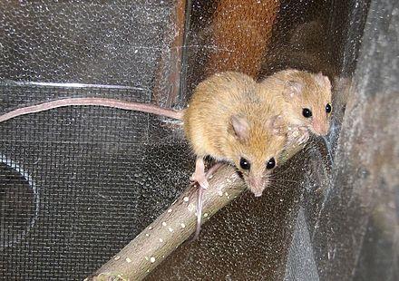 鼠科动物名称及图片