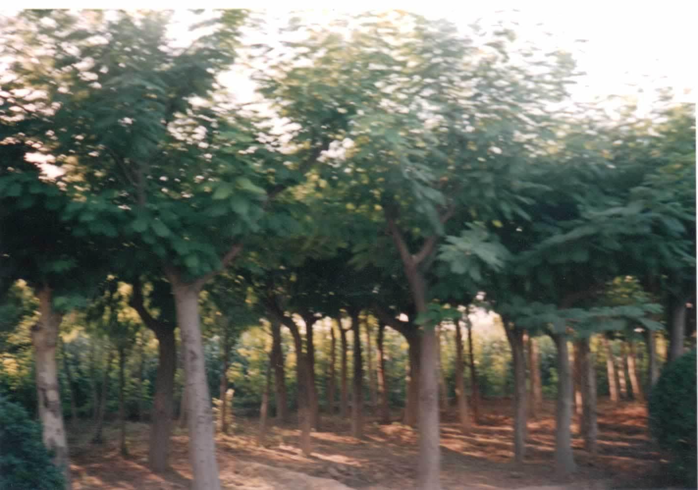 这与一般橘树嫁接的时间不同,如果是在3-5月期间进行,枳苗根系尚未