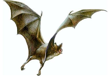 蝙蝠标本制作方法