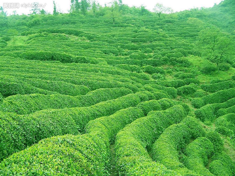 临沧茶文化风景区位于临翔区城郊,占地110公顷,是云南省25个旅游精品