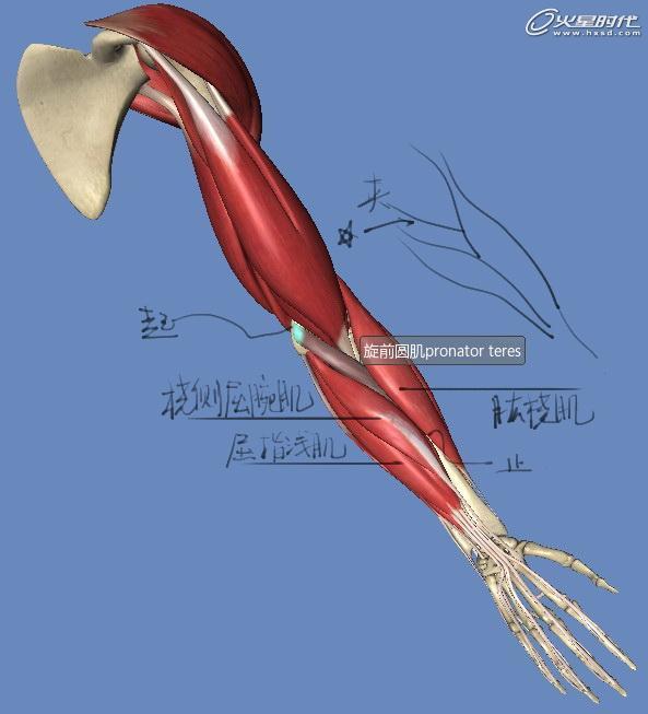手臂关节结构图片